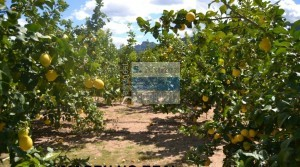 Extensa finca de limoneros 49 Ha